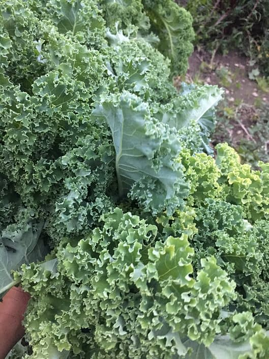 And the kale in our friends' garden, I feel the vibration of the extremely high flying healthy sacred produce - i wish all we ever got was this vibrant.